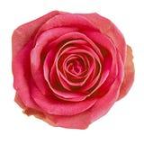 Röd ros för blomma som isoleras på vit bakgrund Närbild element för klockajuldesign Royaltyfria Foton