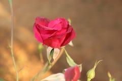 Röd ros för blomning royaltyfri foto