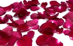 Röd ros för Closeup på vita bakgrunder fotografering för bildbyråer