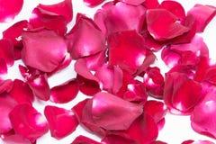 Röd ros för Closeup på vita bakgrunder arkivfoton