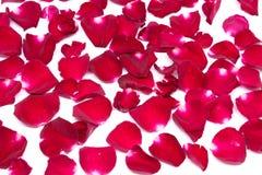 Röd ros för Closeupbakgrunder på vita bakgrunder royaltyfri foto