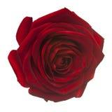 Röd ros för förälskelse på vit Arkivbilder