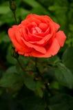 Röd ros för korall i den trädgårds- naturen Arkivbilder