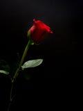 Röd ros för lång stam på svart bakgrund Royaltyfri Fotografi