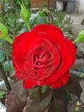 Röd ros för passion med sammetslena kronblad royaltyfri bild