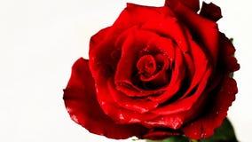 Röd ros för ultrarapid på vit bakgrund