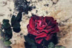 Röd ros i den indiska förälskelsen arkivfoto