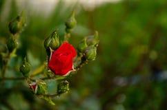 Röd ros i den trädgårds- naturen Royaltyfria Foton