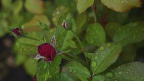 Röd ros i droppar av vatten efter regn lager videofilmer