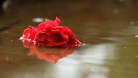 Röd ros i en pöl med en reflexion Arkivbild