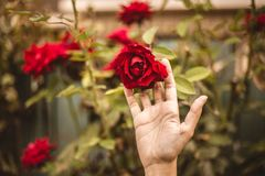 Röd ros i gården med en hand för valentindag arkivfoto