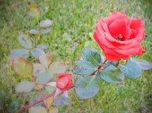 Röd ros i höst Arkivbilder
