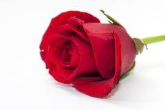Röd ros i nära sikt på den vita bakgrunden Royaltyfria Bilder