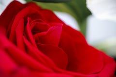 Röd ros i slut upp Royaltyfri Fotografi
