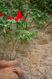 Röd ros i stor lerakruka utomhus på stenväggen Arkivbilder
