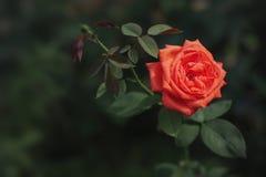 Röd ros i trädgård Arkivbild