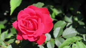 Röd ros i trädgården på solig dag Närbild arkivfilmer