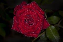 Röd ros med bästa sikt för vattendroppe Arkivbild