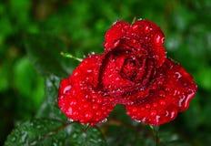 Röd ros med daggdroppar efter regnet arkivfoton