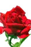 Röd ros med droppar av dagg Arkivfoto