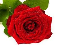 Röd ros med droppar av dagg på en vit Arkivfoton