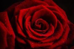 Röd ros med droppar av dagg på kronbladen arkivbilder