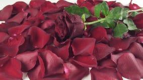 Röd ros med droppar av vatten som faller till bakgrund av videoen för längd i fot räknat för kronbladultrarapidmateriel stock video
