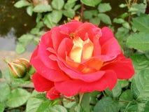Röd ros med getingen Arkivbild