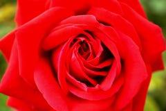 Röd ros med gräsplan Royaltyfri Fotografi