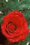 Röd ros med grönska- och vattensmå droppar Royaltyfri Fotografi