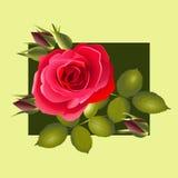 Röd ros med knoppar och sidor Fotografering för Bildbyråer