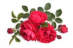 Röd ros med knoppar och sidor på en vitbakgrund (latinnamn: Royaltyfria Bilder