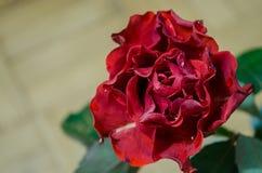 Röd ros med krabba kronblad och droppar av dagg på ljus bakgrund royaltyfri fotografi