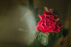 Röd ros med krabba kronblad och droppar av dagg på mörk bakgrund royaltyfria bilder