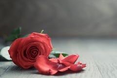 Röd ros med kronblad på den wood tabellen Arkivbilder