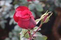 Röd ros med par av knoppar i trädgården Arkivbild