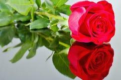 Röd ros med reflexion i spegel Tema för dag för valentin` s, tema för dag för moder` s, internationell dag för kvinna` s, födelse Royaltyfri Bild