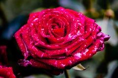 R?d ros med skinande waterdrops arkivbilder