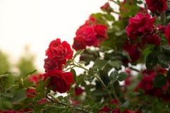 Röd ros med solsken efter regn Fotografering för Bildbyråer