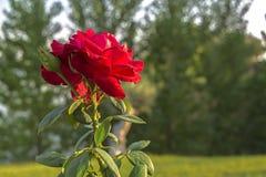 Röd ros med taggar med skogbakgrund i suddighet, med en friare royaltyfri bild