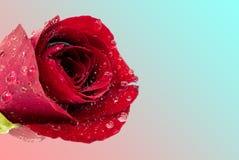 Röd ros med vattendroppar på blå bakgrund för rosa färger och för himmel arkivbild