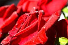 Röd ros med vattendroppar på kronblad arkivfoto