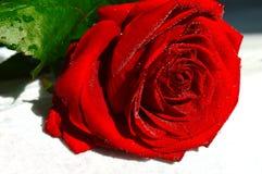 Röd ros med vattendroppar på kronblad royaltyfri fotografi
