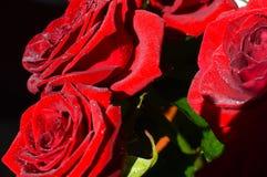 Röd ros med vattendroppar på kronblad fotografering för bildbyråer