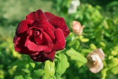 Röd ros med vattensmå droppar i trädgården fotografering för bildbyråer
