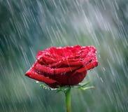 Röd ros med waterdrops in i regnet Royaltyfri Fotografi
