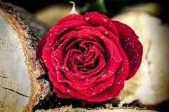 Röd ros mellan journaler Royaltyfria Foton