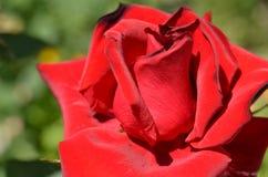 Röd ros mot gräset Fotografering för Bildbyråer