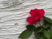 Röd ros mot väggen arkivbilder