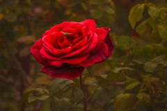 Röd ros och bi som är mörka - grön bakgrund arkivfoton